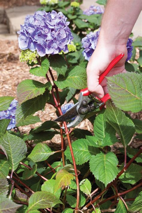 how do you prune hydrangea bushes top 10 tips on how to plant grow and care for hydrangeas