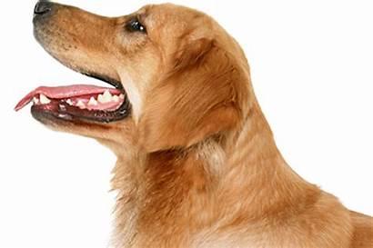 Dog Dogs Puppy Training Puppies Laveta Suplemento