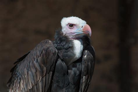 White headed Vulture Trigonoceps occipitalis