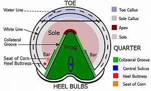 Hoof Physiology