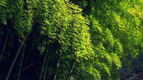 bamboo, Green, Trees, Bokeh Wallpapers HD / Desktop and ...