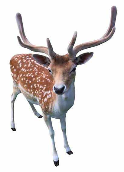 Deer Transparent Animals Pngpix Doe Background Animal