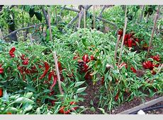 Growing Peppers, How to Grow Peppers, Growing Bell Peppers