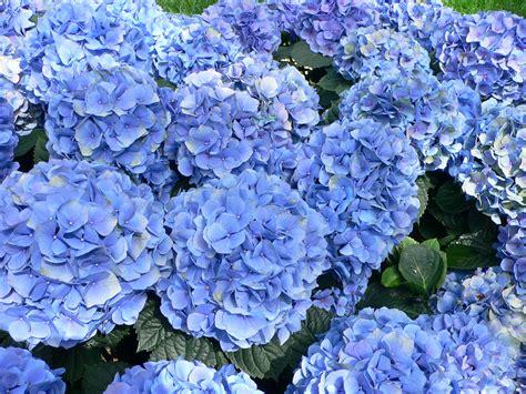 hydrangea flower file hydrangea macrophylla hortensia hydrangea jpg wikipedia