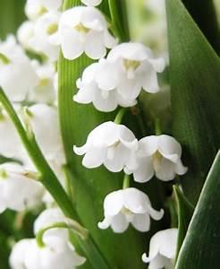 Comment Planter Du Muguet : muguet achat vente convallaria majalis blanc rose vivace jardin pot ~ Melissatoandfro.com Idées de Décoration