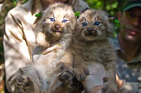 wild cats the canadian lynx kimcion com