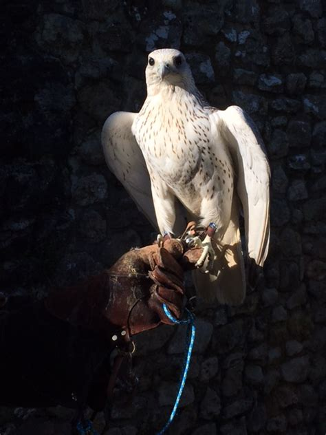 introduction  falconry weald  downland