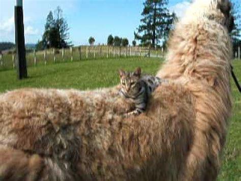 Cat & Llama - YouTube