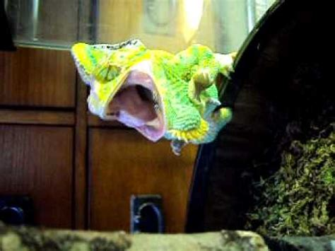 veiled chameleon changing colors hissing veiled chameleon changing colors