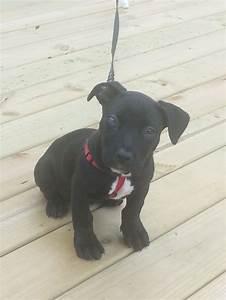 scarlett (black lab pitbull mix) | Fav puppy | Pinterest ...
