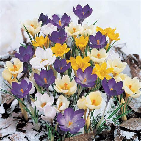 bloomsz crocus bulbs yellow mammoth flower bulb  pack