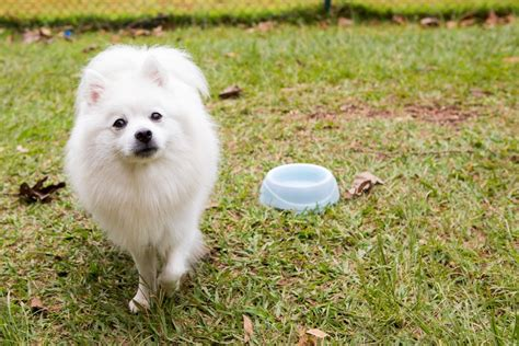 American Eskimo Shedding by Shed Best Brush For American Eskimo Barkspace