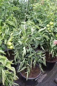 Stickstoffmangel Bei Pflanzen : schadbilder tomate fachkundige hinweise zu kulturproblemen ~ Lizthompson.info Haus und Dekorationen