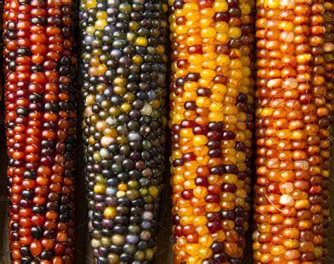 Multicolored Indian Corn | High-Quality Holiday Stock ...