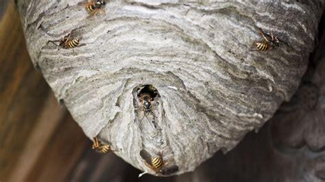 wespennest im rolladenkasten wespennest entfernen was es kostet und wann es erlaubt ist