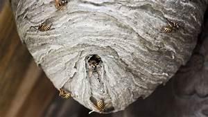 Stehen Wespen Unter Naturschutz : wespennest entfernen was es kostet und wann es erlaubt ist ~ Whattoseeinmadrid.com Haus und Dekorationen