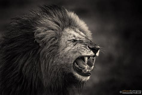 snarling king        snarl alison