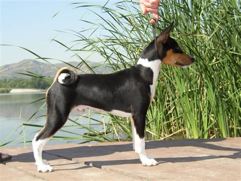basenji dog breed information puppies pictures