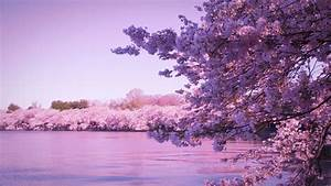 A Guide on Where to See the Best Cherry Blossoms in South ...