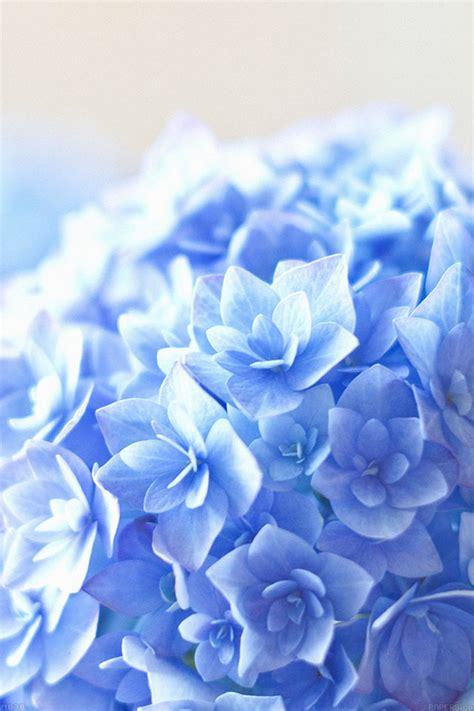 mg blue hortensia flower beautiful nature papersco
