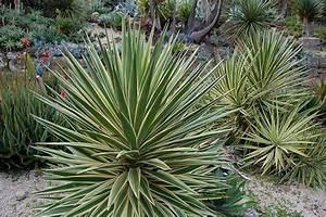 Yucca Filamentosa. danger garden another yucca filamentosa ...