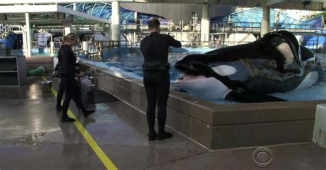 seaworld killer whale tilikum dead cbs news