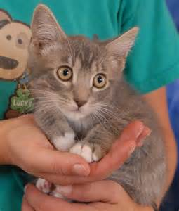 baby cats for adoption nevada spca animal rescue adopt me and be sure to