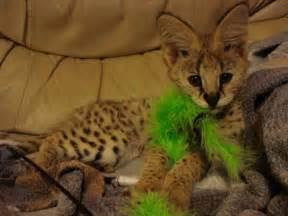 serval cats for serval kittens