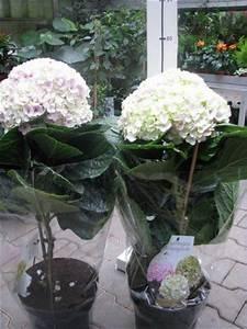 Hydrangea Macrophylla Winterhart : hydrangea macrophylla avantgarde florist 39 s plantica ~ Michelbontemps.com Haus und Dekorationen