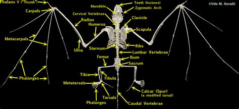 bio mammal skeleton