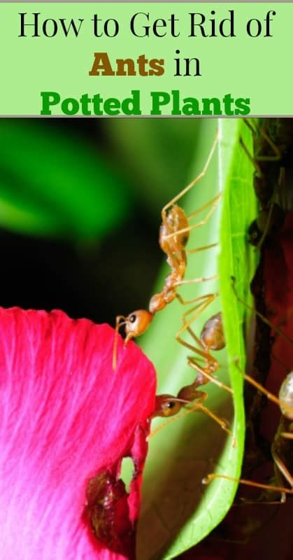 rid  ants  potted plants  small hours