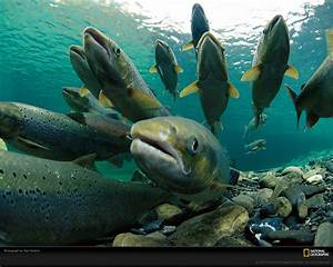 Salmon Spotter