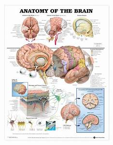 Anatomy Of The Brain Poster