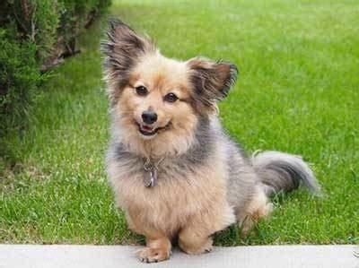 pomeranian dachshund mix  dameranian