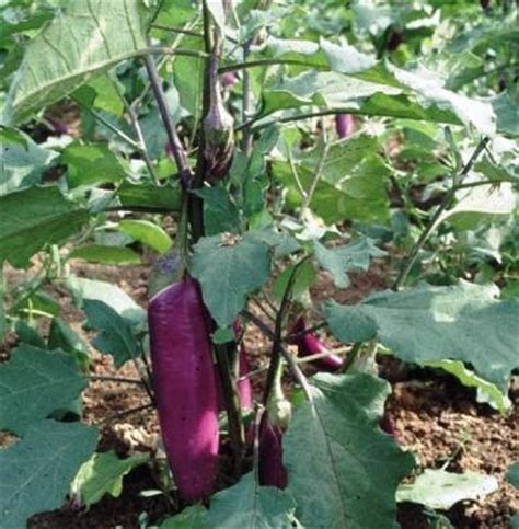 budidaya tanaman terong arif blog