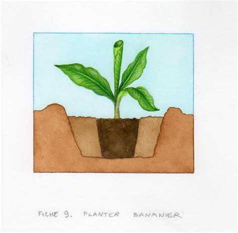 planter un bananier planter et cultiver un bananier pratique fr