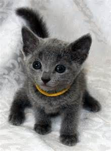 Cute Cat Russian Blue Kitten