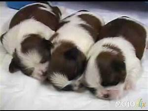 Adorable newborn Shih Tzu puppies and their mother being ...
