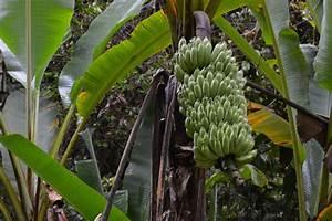 banane pflanzen der pflanzratgeber With feuerstelle garten mit banane zimmerpflanze früchte