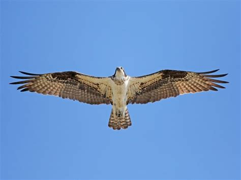 Images Of Osprey Osprey Identification All About Birds Cornell Lab Of