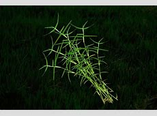 Durva Grass Rudraksha Ratna