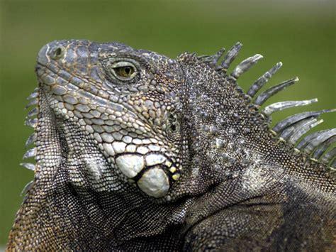 iguana pet iguana ignites pet concerns nbc4 washington