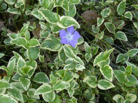 periwinkle perennial vinca major variegated