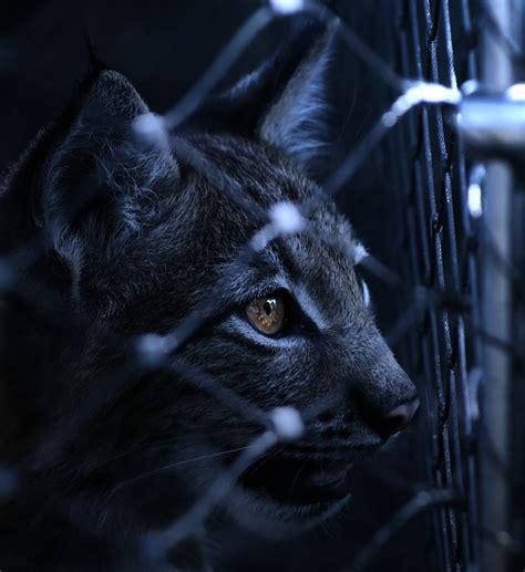 lynx caught imprisoned  photo  pixabay