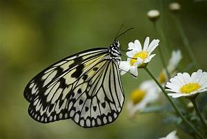 Black And White Butterfly On A Daisy Photograph by Pixie ...