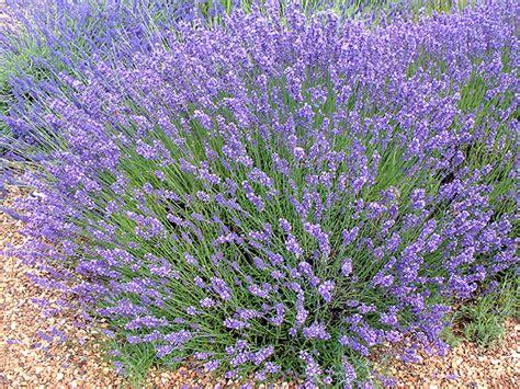 lavandula angustifolia care lavandula angustifolia english lavender world of flowering plants