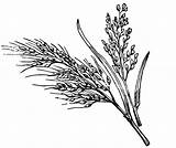 Plant Rice Clipart Sketch Drawing Coloring Paddy Wild Leaf Wheat Transparent Tree Template Collection Clip Ear Sketches Paintingvalley Webstockreview sketch template