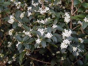 Arbuste Persistant Haie : arbuste fleurs blanches feuillage persistant id e d ~ Premium-room.com Idées de Décoration
