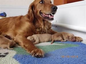 Dark (working lines) Golden Retriever puppies | Bedford ...