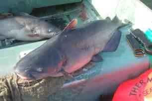 cat fishing blue catfish excitement